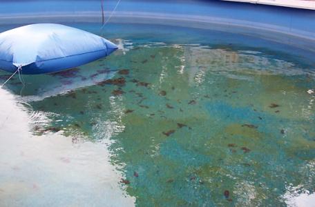 zelená voda a riasy vo vode v bazéne