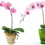 Orchidea: ako na starostlivosť, presádzanie, zalievanie, hnojenie