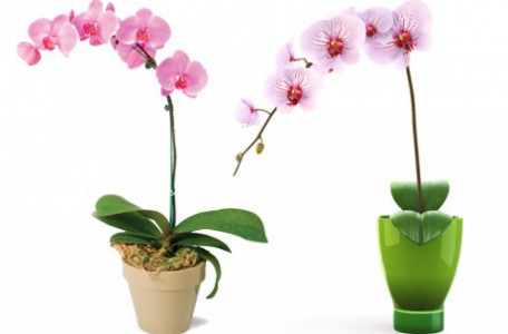orchidea ako darček