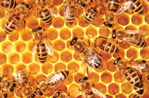 praví včelí med