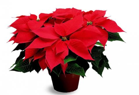 vianočná hviezda kvet