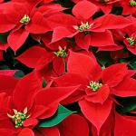 Ako sa starať o vianočnú hviezdu ?