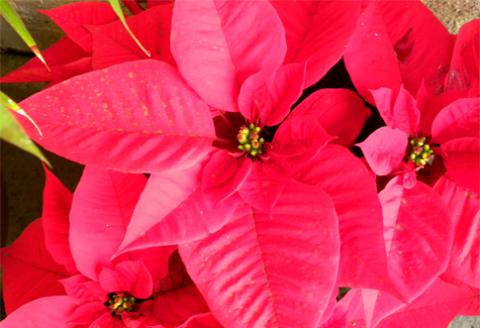 vianočná hviezda kvetina