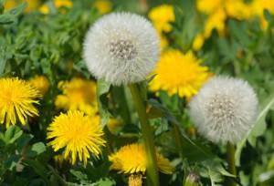 pupava kvet listy